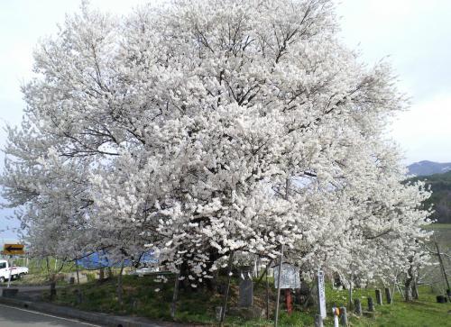 20日の千歳桜(27.4.20)