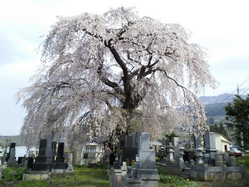 20日の区民会館前のしだれ桜(27.4.20)