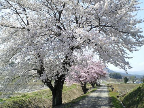 木島平村桜並木(27.4.25)