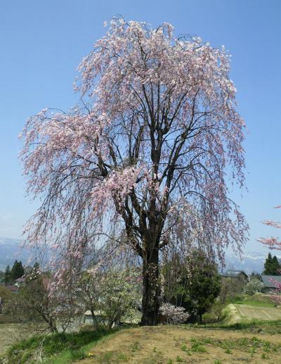 木島平村伊勢宮のしだれ桜(27.4.25)