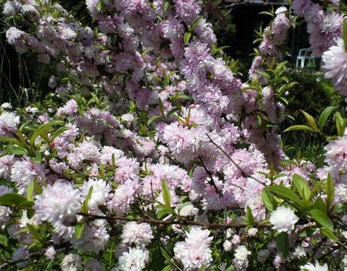 うちの庭桜(27.4.29)