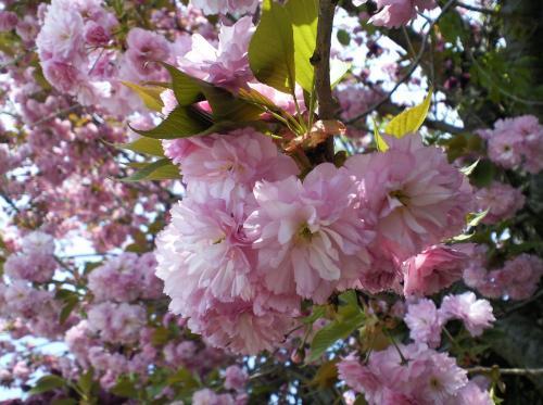 八重桜アップ(27.4.29)