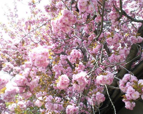 うちの八重桜(27.4.29)