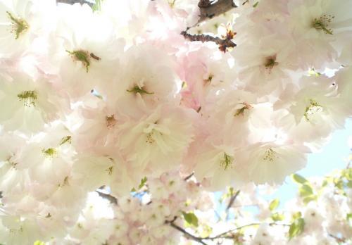 桜に毛虫(27.5.5)