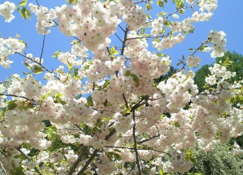 青空と桜(27.5.5)