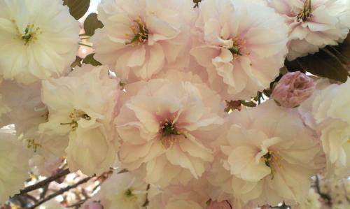 八重桜アップ(27.5.5)
