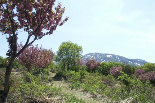 残雪の山と八重桜(27.5.3)