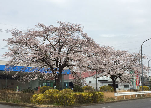 桜201504