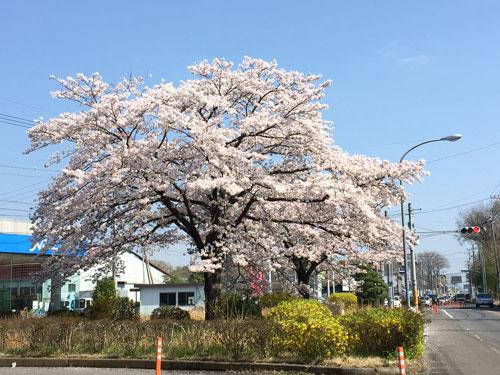 桜20150406