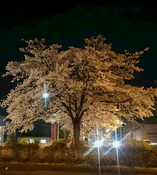 桜20150406夜