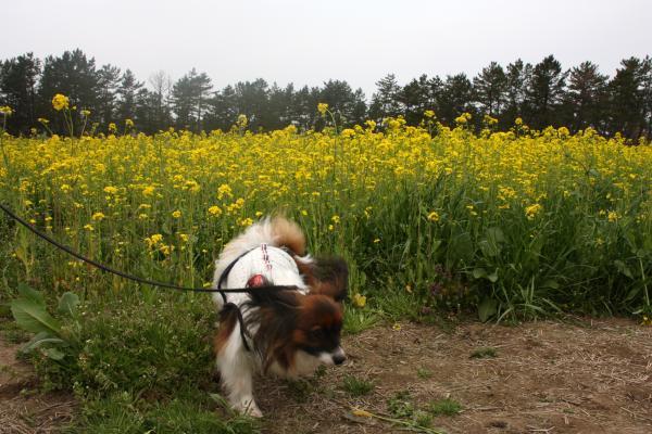 菜の花祭り1