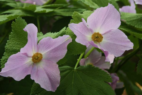 白根葵 1