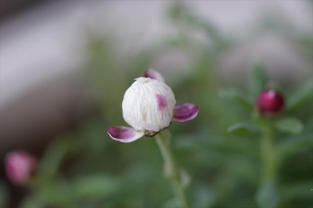ヘリクリサム 花かんざし・・・の蕾
