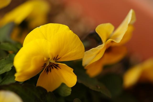 アブラムシが大好きな黄色いビオラ