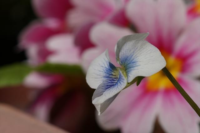 太陽に向かって咲くタチツボスミレ