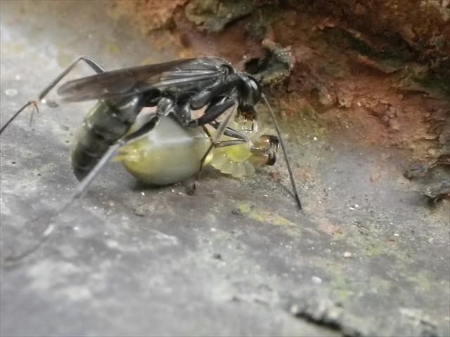 ハチ VS エイリアン?