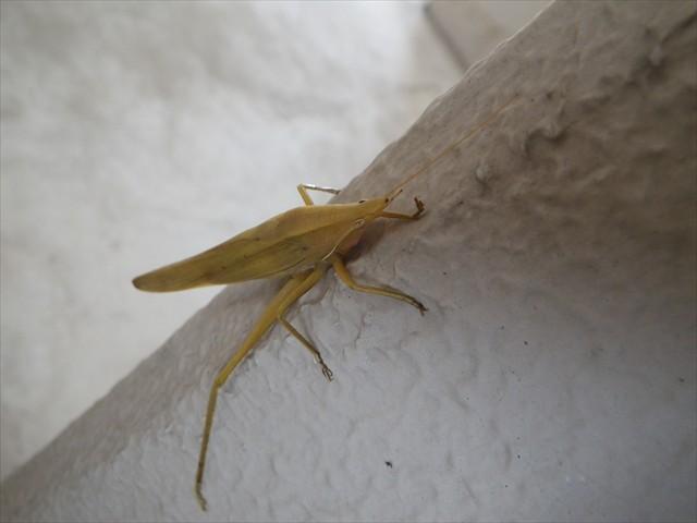 クビキリギスの褐色個体