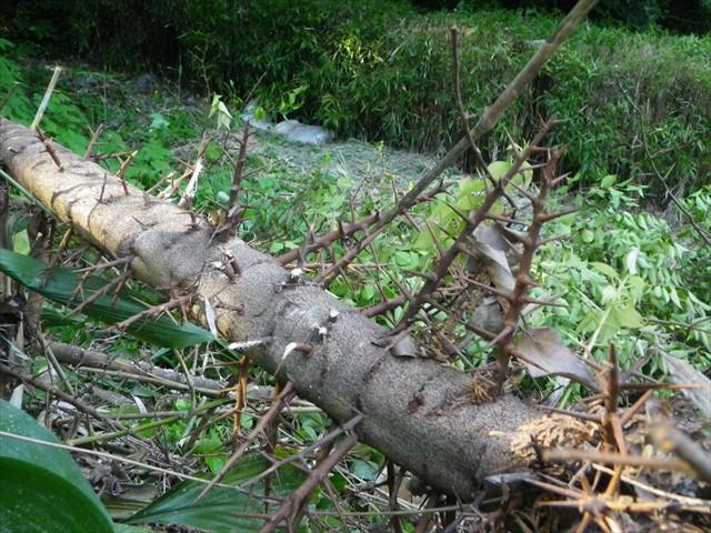 刺々しい木