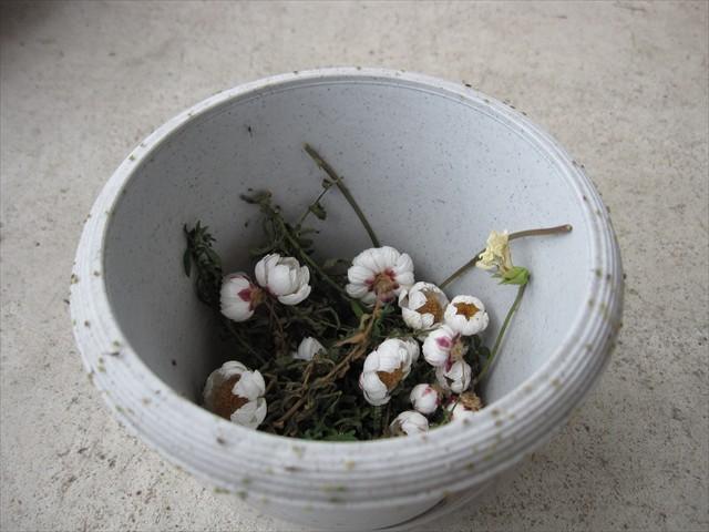 アブラムシサークルと化した植木鉢