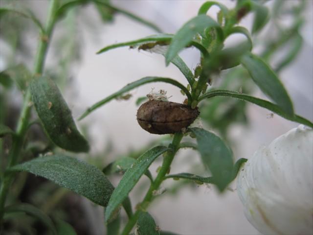 ヒラタアブの蛹