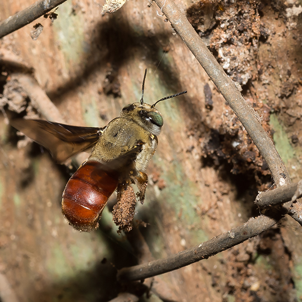 アマンバイの蜂