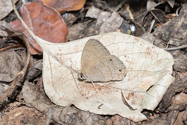 アマンバイの蝶々