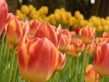 tulip8_R.jpg