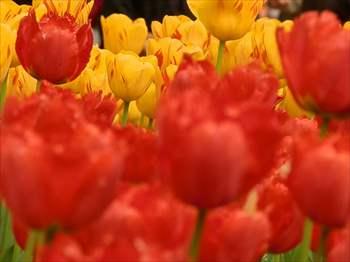 tulip9_R.jpg