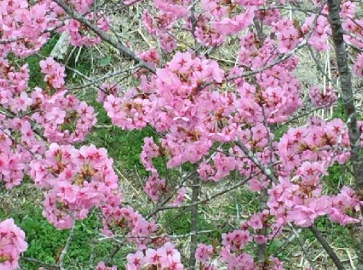 多摩森林科学園-横浜緋桜