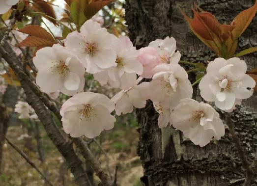 多摩森林科学園-佐野桜