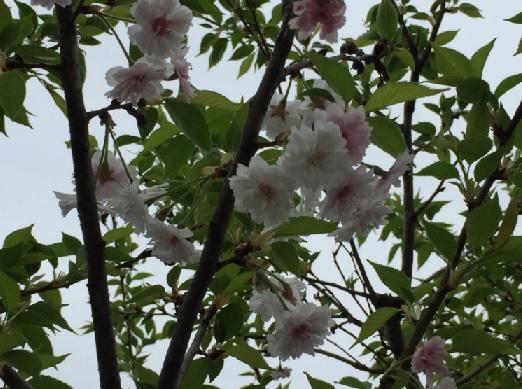 多摩森林科学園-子福桜