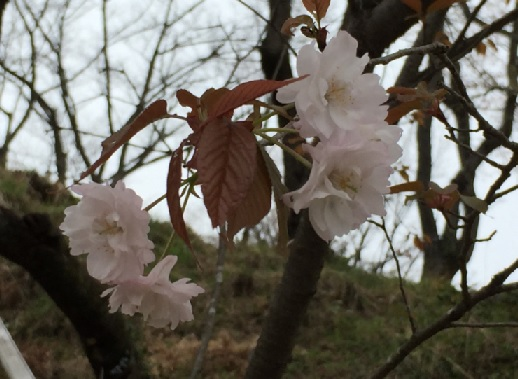 多摩森林科学園-木の花桜