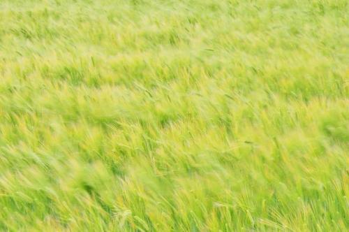麦畑 (4)