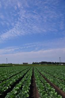 キャベツ畑 (3)