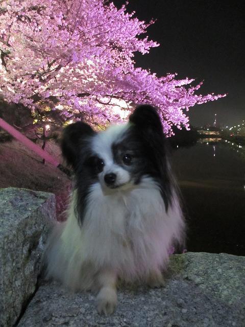 2015夜桜1