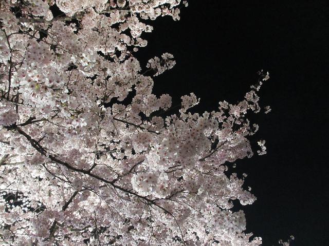 2015夜桜3