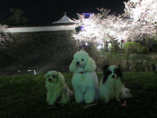 2015夜桜10