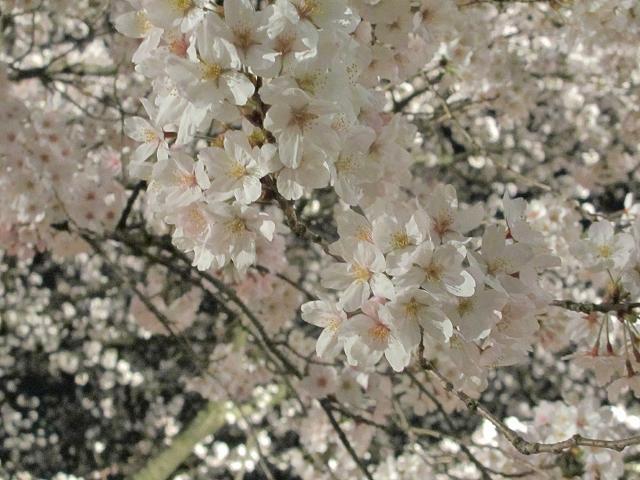 2015夜桜13