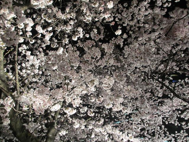 2015夜桜16