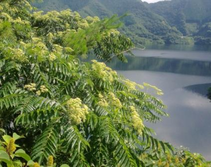 カラスザンショウ(奥津湖)1