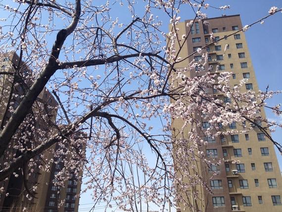 桃の花02
