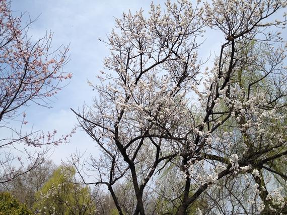 杏子の花01