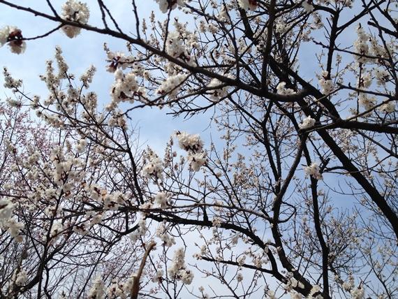 杏子の花02