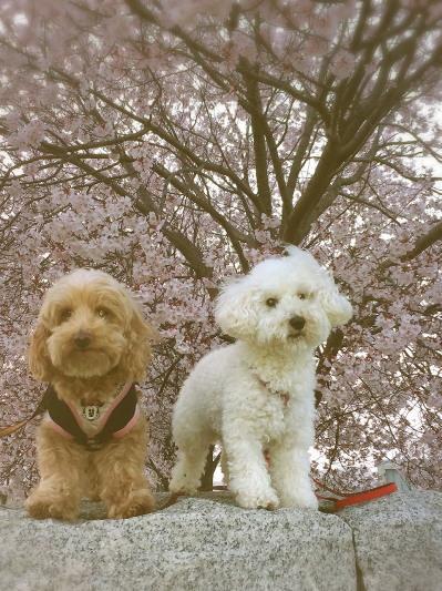 桜 もこみゆ