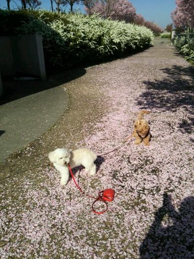 桜のじゅうたん2
