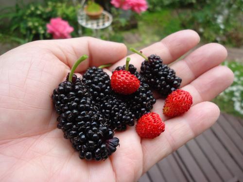 hokano-berry.jpg