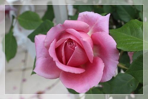 s-150708ローブ・ア・ラ・フランセーズIMG_4278