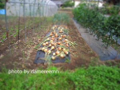 2015.5.15菜園2