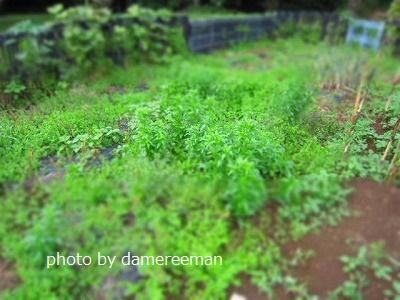 2015.5.16菜園14