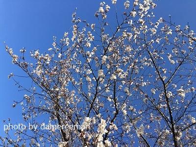 2015.3.27桜3
